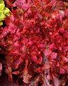 2758 lattuga da taglio rossa