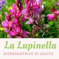 lupinella dispensatrice di azoto