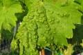 peronospora vite